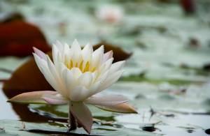 water-lilies-1381625_640-1_03060651.jpg
